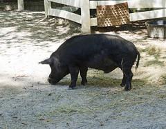 Memphis Zoo 08-29-2019 - Guinea Hogs 5