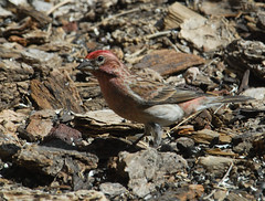 Cassin's Finch (Haemorhous cassinii)-0023