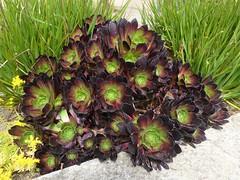 San Francisco, CA, Noe Valley, Succulent Plant Cluster