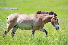 Przewalski horse walking in the grass
