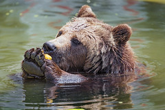 Brown bear eating fruit