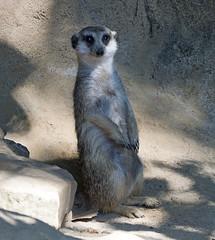 Memphis Zoo 08-29-2019 - Meerkats 5