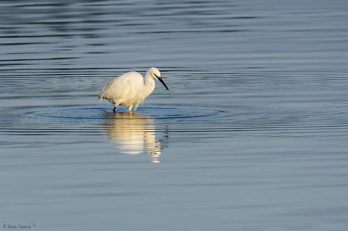 Garça-branca-pequena | Little Egret (Egretta garzetta)
