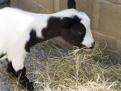 Memphis Zoo 08-29-2019 - Nigeriam Dwarf Goat 5