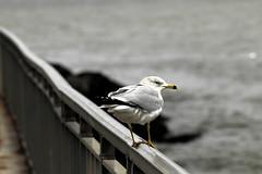 A Brooklyn Seagull