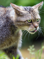 Female wildcat walking and showing tongue