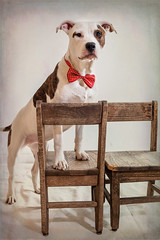 Mixed Breed Dog Wearing A Bow Tie