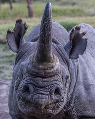 Barako, The Blind Black Rhino, Ol Pejeta Conservancy, Kenya
