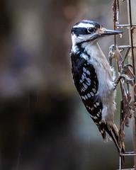 infrequent flyer -hairy woodpecker