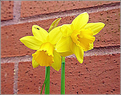 Two Early Daffodils ...