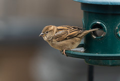 Sparrow on My Feeder