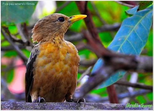 Pica-pau-amarelo-fêmea_(celeus flavus)_Monte Dourado-Pará-PA