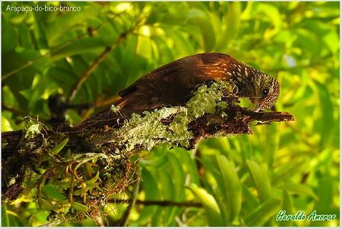 Arapacu-do-bico-branco (dendroplex picus)_Monte Dourado-Pará-PA