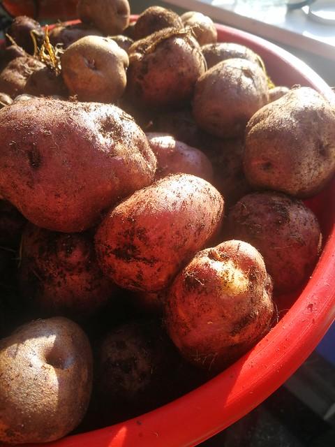waiporoporo taewa potato