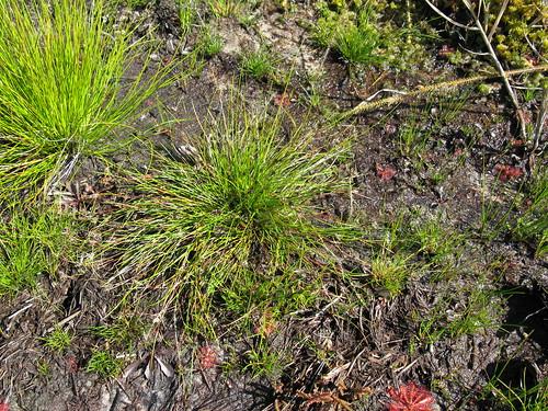 Schoenus apogon plant NC6