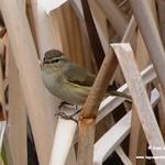 Aves en las lagunas de La Guardia (Toledo) 9-2-2020