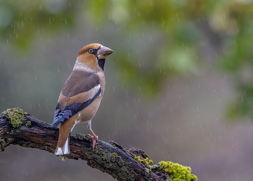 Hawfinch (Coccothraustes coccothraustes) in a rainy day