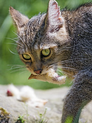 Female wildcat with chicken's head