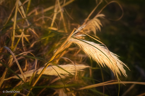 Pampas Grass in the Early Evening Light