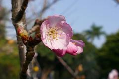梅花和櫻花 2019 2020