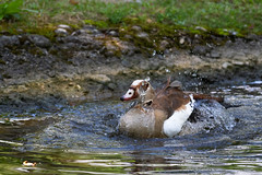 Egyptian goose on the water