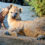 Hyena and Cub by Eric Cheek