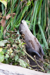 Small-clawed otter looking up