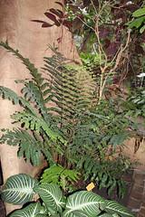 Didymochlaenaceae