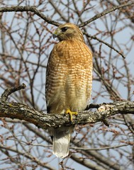 Visiting hawk