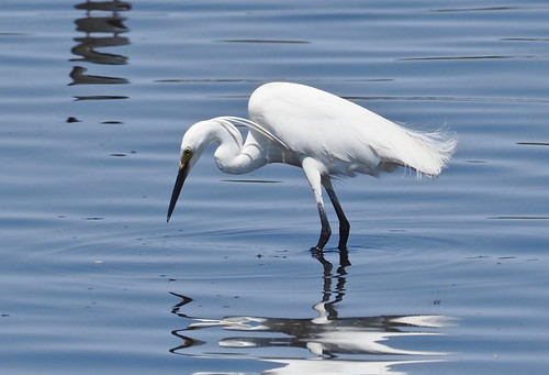 Little Egret - (Egretta garzetta)