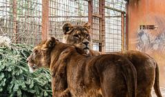 Die Löwinen vom Gaia Zoo