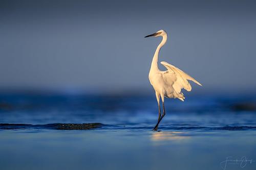 "Reddish Egret ""White morphe"""