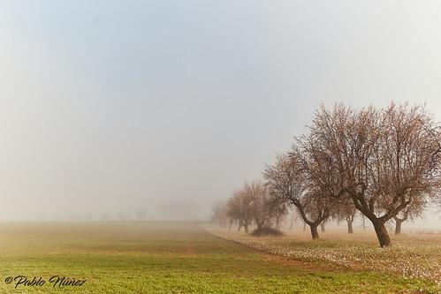 Almendros entre la Niebla