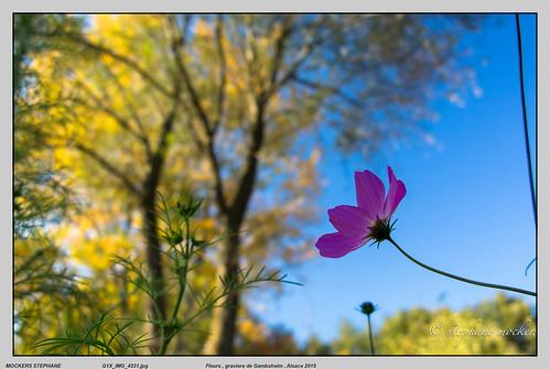 Fleurs , graviere de Gambsheim , Alsace 2015