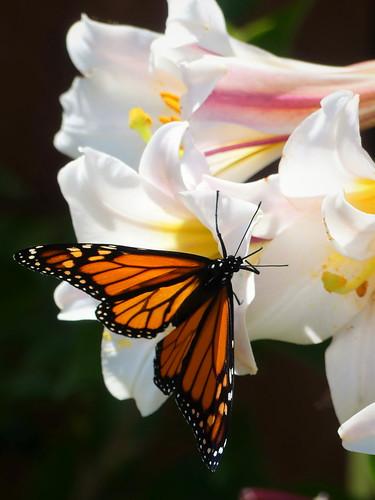 Monarch butterfly (4)