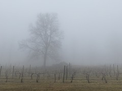 042/366 Vines in fog, Linden, Virginia