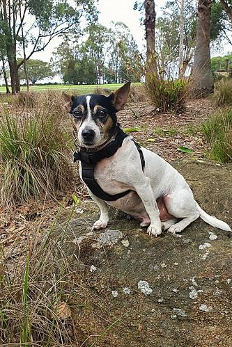 Shanti out on walkabout on Lake Macquarie