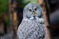 Great Gray Owl Yellowstone National Park