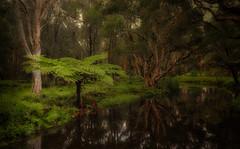 #4686 Australian tree Fern