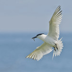 Sandwich Tern in Flight with Sandeel by Andrew C M Chu