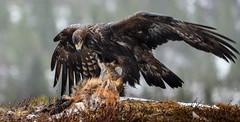 Golden eagle (Aquila chrysaetos) Norwegian: Kongeørn
