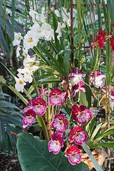 Orchidées du genre Miltonia (Museum national d'histoire naturelle, Paris)