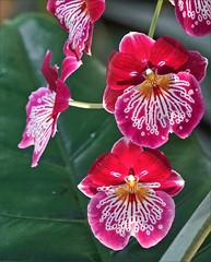Orchidées du genre Miltonia (Museum national d'histoire naturelle, Paris) - Photo of Paris 2e Arrondissement