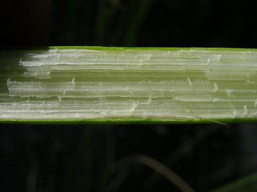 Schoenoplectus subulatus stem NC2