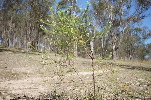 Ozothamnus diosmifolius plant NC2