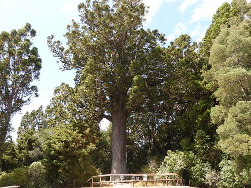 The McKinney Kauri Tree