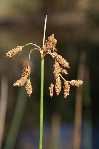 Schoenoplectus subulatus flowerhead NC5