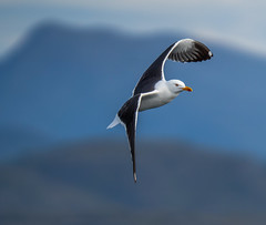 Great black-backed gull (Larus marinus) Norwegian: Svartbak.