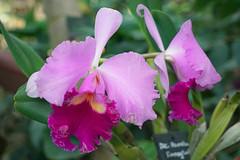 Orchidées Blc. Pamela Finney Calf (Museum national d'histoire naturelle, Paris) - Photo of Paris 2e Arrondissement