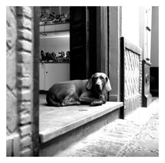 Dogs of Sevilla